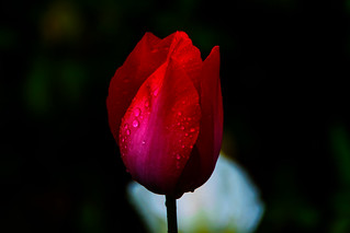 Tulip in The Rain : 雨に濡れるチューリップ