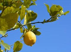 Il giallo del limone (giorgiorodano46) Tags: aprile2017 april 2017 giorgiorodano nikon roma italy limone lemon colori colores colors giallo yellow jaune