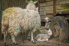 My favourite in the middle (jayneboo) Tags: 365 lamb lambs ewe family trailer odc animals