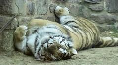 Amur tiger (auntiepauline) Tags: amurtiger tiger philadelphiazoo