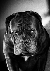 Didn't do It! (Martin Werge Nissen) Tags: doguedebordeaux maximus animal dog