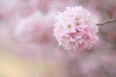 Harumeki Sakura / 春めき桜 (Hideo N) Tags: fantasticflower