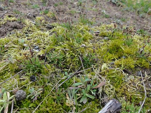 Sand-Zwerggras (Mibora minima) (4), NGIDn344520079