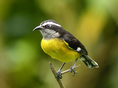 Bananaquit / Coereba flaveola, Asa Wright, Trinidad (annkelliott) Tags: trinidad westindies caribbean asawrightnaturecentre nature ornithology avian bird birds bananaquit coerebaflaveola passerine nectarivore perched branch frontsideview bokeh outdoor 19march2017 annkelliott anneelliott ©anneelliott2017 ©allrightsreserved excellence avianexcellence