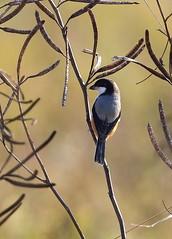 Long-tailed Shrike (RedAbbott) Tags: laniusschach longtailedshrike