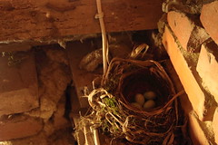 Nido (noe.giovanni) Tags: nest bird birdnest birdhouse blackbird closeup detail above animal birth black blue brown close cutout egg eggs indoor isolated life macro mottled natural nature nobody shell spring still stillife straw studio up wild wooden woven
