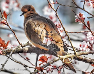 Mourning Dove sitting in a tree full of blossoms