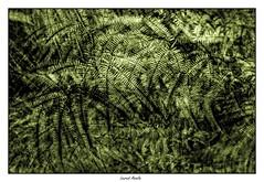 Fougères #2 (triple exposition) (Laurent Asselin) Tags: fougères plantes exposition effet vert rythmes graphismes
