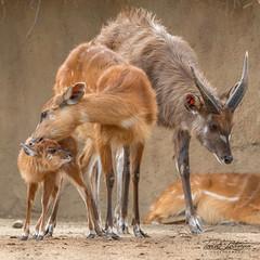 East African Sitatunga (ToddLahman) Tags: eastafricansitatunga newborn sandiegozoosafaripark safaripark canon7dmkii canon canon100400 mammal outdoors lowlight closeup portrait familyportrait escondido