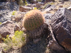 Ferocactus cylindraceus  DSC00216 (sierrarainshadow) Tags: ferocactus cylindraceus dry wash new york mountains mojave national preserve