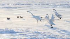 Bewick's on Ice (pixellesley) Tags: bewicksswan birds elegant noise honking running chasing evening ice frozen lake hokkaido japan lesleygooding cygnuscoloumbianus action movement slowshutter panning