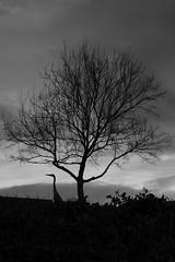 CRANE bird (Peggi Siew Lee) Tags: cran bird dawn sky park