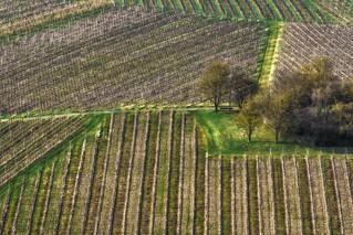 Early spring vineyard