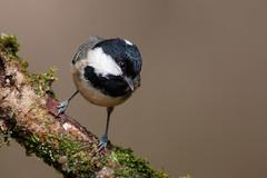 _F0A7082.jpg (Kico Lopez) Tags: carbonerogarrapinos galicia lugo miño parusater spain aves birds rio