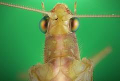 Florfliege (oldworldtarantulas) Tags: macro makro extrem extreme canon eye eyes green fly