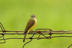 Lemon-bellied Flycatcher (Janis May) Tags: lemonbelliedflycatcher eastpoint northernterritory