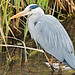 Heron - Stanborough Lakes