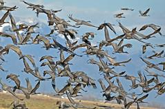 Close Sedge (DocNordic) Tags: sandhill sandhillcranes cranes colorado montevistanationalwildliferefuge refuge reserve migration sedge spring