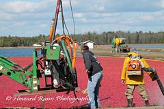 Whitesbog Cranberry Harvest  (98) (Framemaker 2014) Tags: whitesbog cranberry harvest burlington county chatsworth new jersey pinelands pine barrons southern united states america