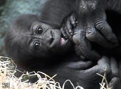 Wela (siggi nobel) Tags: gorilla wela zoo frankfurt
