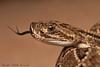Cascabel tropical Austral (Crotalus durissus terrificus) (Budi Rebollo Fernandez) Tags: seprientes serpiente snake vibora ofidio culebra