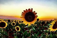Gira-sols. (Jesús 56) Tags: bulaklak flower زهرة fleur flor fiore цветочные λουλούδι 花 çiçek flors flores flowers fleurs fiori blumen girasoles girasol sunflowers sunflower