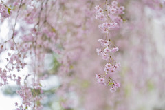 Smiling Softly (Synapped) Tags: cherry blossom twig branch hang hanging pink flower spring soft
