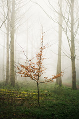 Blickling Wood 28/03/2017 (Matthew Dartford) Tags: atmospher atmosphere atmospheric autumn blickling bokeh depth dof fog foggy forest mist misty single singletree wood woodland