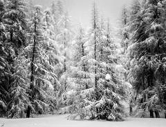 Opposite of trees (ZoKë) Tags: winter snowscape landscape switzerland zermatt pine trees snowfall