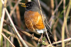 American Robin, Langley, BC Canada (dpierce6) Tags: american robin stick twig branch nature outdoor canon garden 1200d feathers eye beack toes wings feet sun shine weather weekend 300mm untrasonic orange yellow black blur noise mixed landed season change