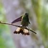 Buff-tailed Coronet (Boissonneaua flavescens).  Tandayapa Lodge, north-western Ecuador.