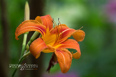 Tangerine for a Day (Deb Scannell) Tags: macroshots flowers insects