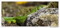 Lézard vert alangui ! (C. OTTIE et J-Y KERMORVANT) Tags: nature animaux reptiles lézards lézardvert alsace france