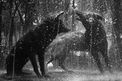 Los coyotes de Coyoacán (nekotikva) Tags: blancoynegro coyoacán cdmx coyotes fuente agua tiemposcortos escultura sculpture