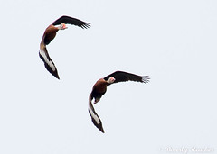 Black-bellied Whistling Ducks (B.Heacker) Tags: waco birds lake wildlife