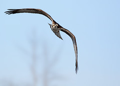 Osprey (mikestreicher) Tags: osprey inflight iroquois bif raptor
