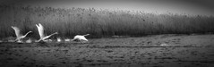 Take-Off (miniwaites) Tags: nex water mono splash waves takeoff reeds monochrome swan bird beautiful swans river bw blackandwhite sony a6000 oultonbroad england unitedkingdom gb