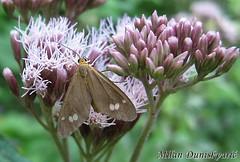 moljac, Plešivica (mdunisk) Tags: smeđamrljaburnet dysauxesancilla moljci moth manjavas mdunisk kotari klake parkprirodezumberackosamoborskogorje plešivica konopljuša arctiinae sovice lepidoptera