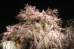IMG_6403 Maruyama Koen (drayy) Tags: kyoto japan gion temple kiyomizudera maruyamakoen park sakura cherryblossoms 日本 京都 清水寺 円山公園 花見 桜