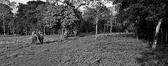 "NEPAL, Royal Chitwan-Nationalpark, Elefanten-Safari, 15401/8182 (roba66) Tags: elefanten elephants elefantencamp safari fotosafari elefantensafari reisen travel explore voyages roba66 visit urlaub nepal asien asia südasien ""royal chitwannationalpark"" nationalpark landschaft landscape paisaje nature natur naturalezza tier tiere animal animals creature blackwhite bw sw branco negro blackandwhite blancoenero blancoynegro monochrome byn bretoebranco einfarbig schwarzweis"