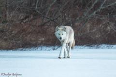 LOUP SAUVAGE-WILD WOLF (jocelyn.galipeau) Tags: loup sauvage québec canada hiver neige nature wolf animal wild wildlife faune lac