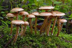 Pholiota subflammans. (Bernard Spragg) Tags: pholiotasubflammans mushroom toadstool nature fungi fungus up lumixfz1000 macro closeup