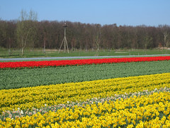 Bulb field colours (Martin van Duijn) Tags: bulbfield colours flowers hyacinthus tulips daffodils holland netherlands spring bollenstreek bulb lisse sassenheim hillegom dezilk noordwijkerhout noordwijk