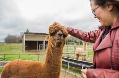 medina-7717 (FarFlungTravels) Tags: alpaca animal farm medinacounty onefineday shear wool