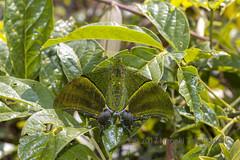 Teinopalpus imperialis imperatrix (Hiro Takenouchi) Tags: nocrop papilionidae teinopalpus kaiserihind papilionid thailand nature wildlife butterflies butterfly schmetterling papillon insect