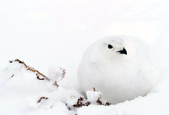 Ptarmigan Winter Attire (BernieErnieJr) Tags: ptarmigan snow colorado coloradowildlife wildlife frontrange greatphotographers teamsony sonya6300 sony18105mmg rockymountains bernie duhamel bird spring mountains