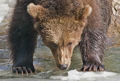 Bruine beer - Ursus arctos (wimberlijn) Tags: bruinebeer ursusarctos beiersewoud bayerischerwald nationalparkzentrumlusen braunbär bär bavarianforest brownbear bear nature wildlife animal outdoor