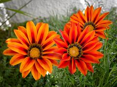 1873 - Fiori (Diego Rosato) Tags: fiori flowers aiuola erba grass arancione orange fuji x30 rawtherapee