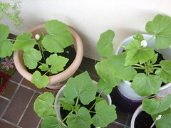 image040 (i_am_charliekay) Tags: nature gardening balcony selfgrown homegrown vegetables veggies flowers tomato tomatoes zuccini pepper peppers pumpkin animals green balconylife