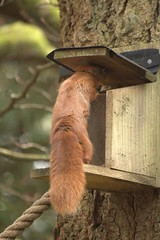 Going In (Sybalan,) Tags: benmoregardens argyll rbge red squirrel trees tranquility httpsybalanphotographyweeblycom cowal canon hide feeding feeders 760d 55250mm mammal outdoor cute furry